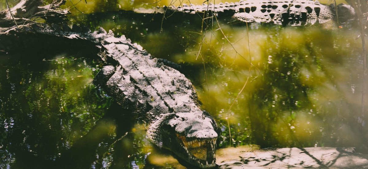 Alligator vs Crocodile: What's the Difference?